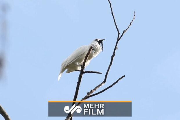 بلندترین صدای یک پرنده برای انسان!