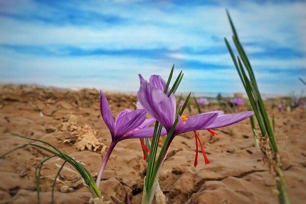 ۱۷ هکتار زمین کشاورزی دامغان زیر کشت زعفران رفته است