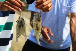 Shrimp farming in Jask, Hormozgan province