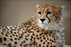 Asiatic cheetahs in Pardisan Park to undergo semi-captive breeding