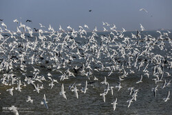 Migratory birds return to Shadegan wetland