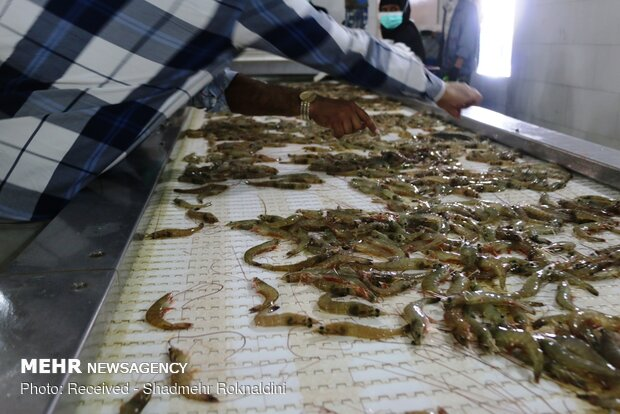 Shrimp farming in Jask, Hormozgan province