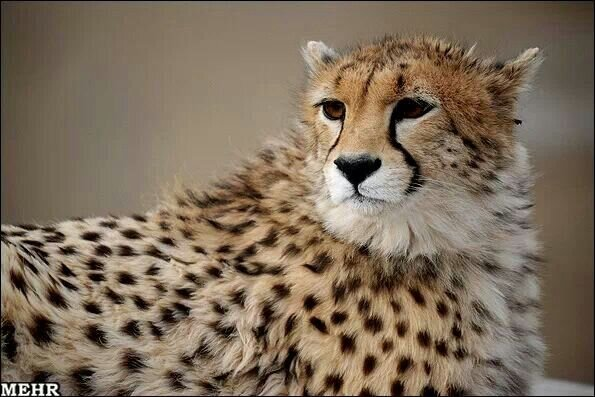 Asiatic cheetahs in Pardisan Park to undergo semi-captive breeding
