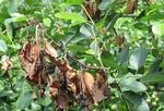 سم ارگانیک درختان میوه دار تولید شد/ افزایش تولید محصول