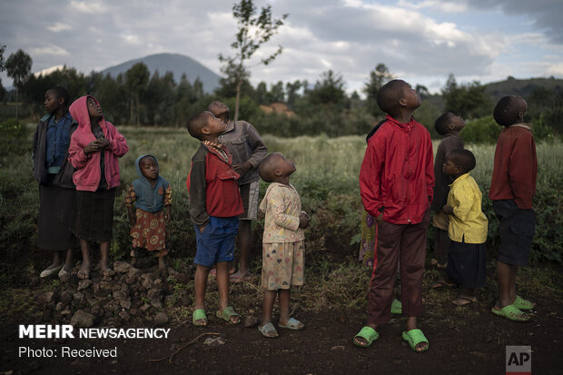 افزایش تعداد گوریلهای کمیاب در رواندا