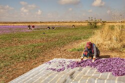 Saffron harvest season kicks off in northeastern Iran