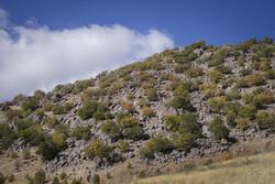 حمله آفت «برگخوار بلوط» به جنگلهای سپیددشت لرستان