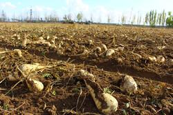 ۷۲ هزار تن چغندر قند در کردستان تولید می شود