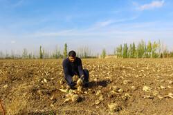 برداشت ۱۶۰ هزار تن چغندر قند از مزارع استان همدان
