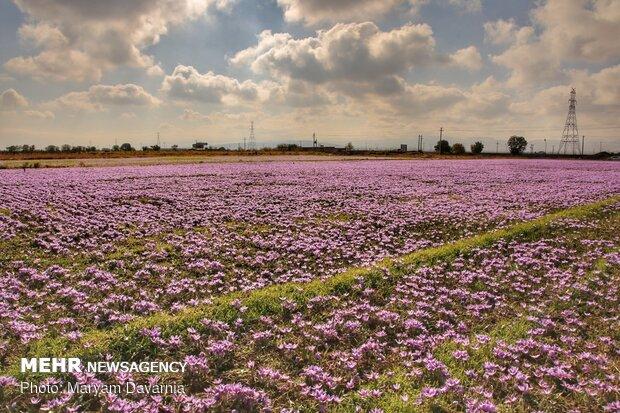 Saffron harvest season kicks off in northeastern Iran
