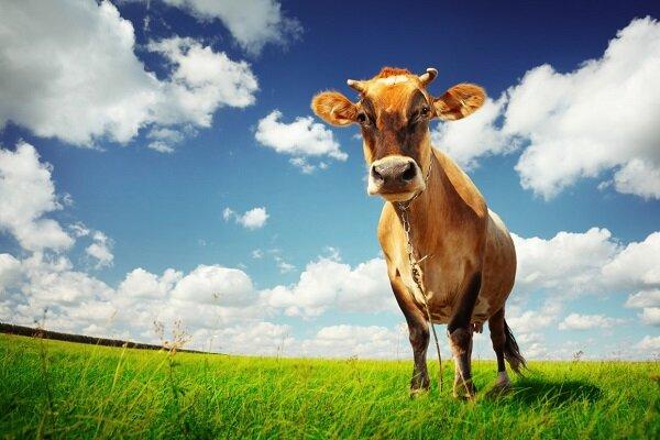 کاهش گازهای گلخانه ای با تغییر خوراک دام ها