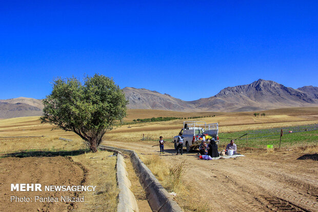 Harvesting 'red gold' in Zagros foothills
