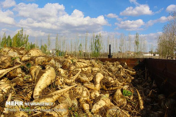 پیش بینی تولید ۱.۱ میلیون تن چغندرقند پاییزه در سال زراعی جاری