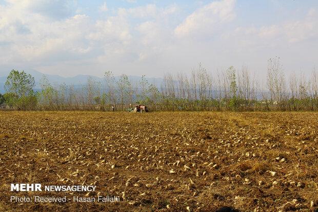 آغاز برداشت چغندر قند از مزارع اردبیل