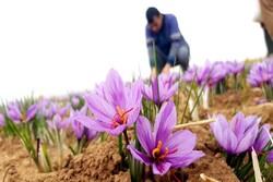 سود را دلال میبرد چون دستگاه جداسازی گل زعفران نداریم / طرح جامع ۱۰ سال است خاک می خورد