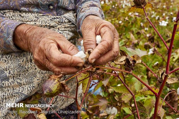برداشت پنبه از مزارع باغوکناره استان گلستان
