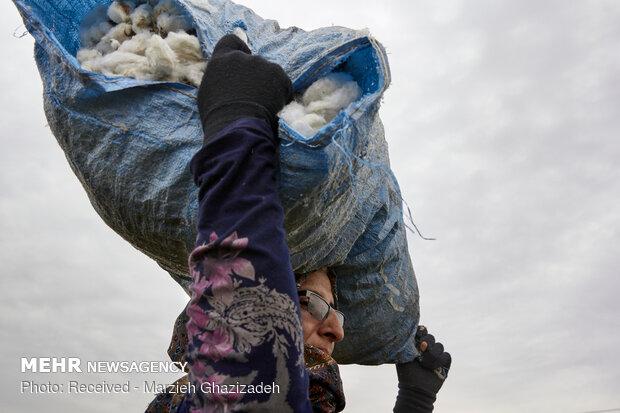 cotton harvest in Golestan province