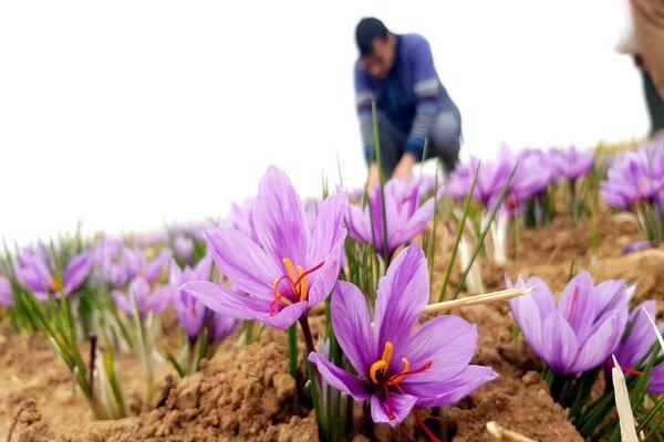 سود اصلی را دلال میبرد چون دستگاه جداسازی گل زعفران نداریم