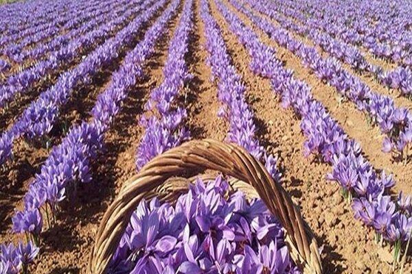 ۲۰۰ هکتار از اراضی کشاورزی به کشت زعفران اختصاص دارد