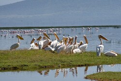 First flock of white pelicans landed in Kani Barazan wetland