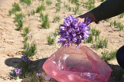 Saffron harvest in Shahreza