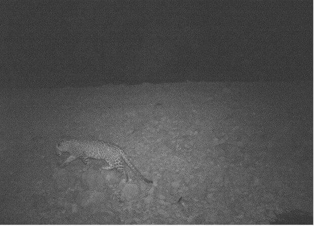 Persian leopard spotted in western Iran