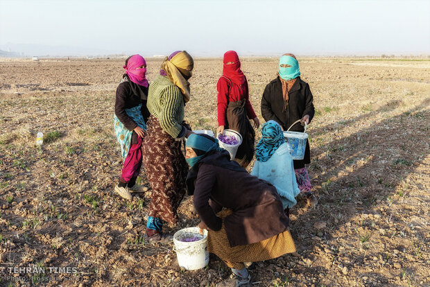 Meet Iranian farmers who harvest 'red gold'
