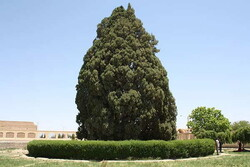 A view of the 4000-year-old Abarkouh cypress in central Iran