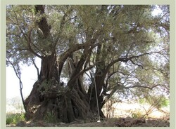 إدراج شجرة زيتون يبلغ عمرها 450 عاما ضمن قائمة المعالم الوطنية