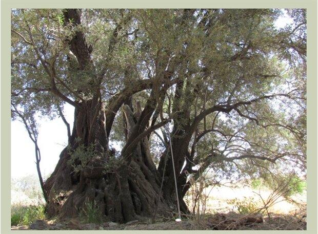 درخت زیتون ۴۵۰ ساله طارم به فهرست آثار ملی پیوست