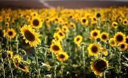 خرید تضمینی بیش از ۱۹۶ تن دانه روغنی آفتابگردان از کشاورزان