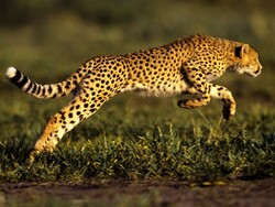 International Cheetah Day: running fast toward extinction