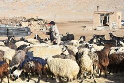 مرگ چوپان سوسنی به علت سقوط از ارتفاع