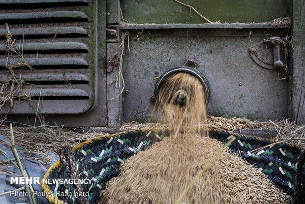 در کنار کانکا چاله ای حفر میکنند که زنبیلی داخل آن قرار می دهند تا دانه های جدا شده از خوشه برنج درون آن بریزد