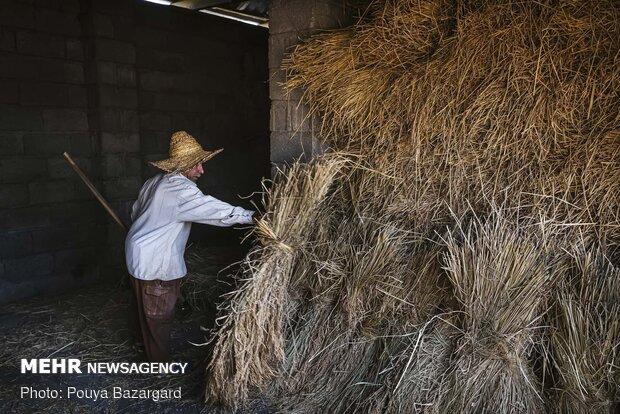در مرحله اول خوشه های برنج که به صورت دسته ای انبار شده اند را بیرون می آورند