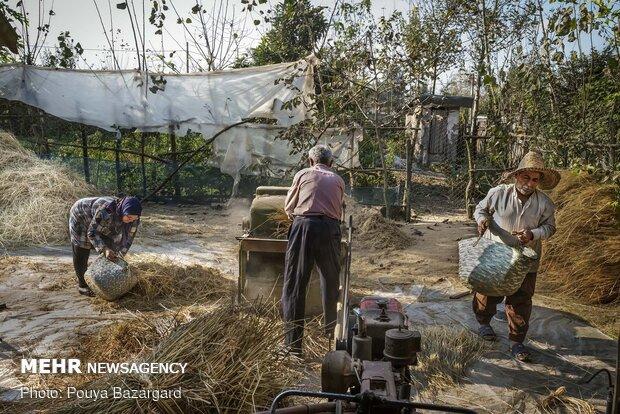 آقای جهانی می گوید یکی از فواید استفاده روش سنتی (با خرمنکوب) به دست آوردن محصول بیشتر نسبت به کمباین است