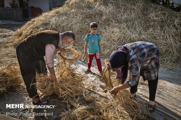 """کشاورزان برای بستن ساقه های برنج یک نوع طناب با ساقه های  خشک کولوش درست می کنند که در زبان گیلکی به آن """"پیچ"""" می گویند"""