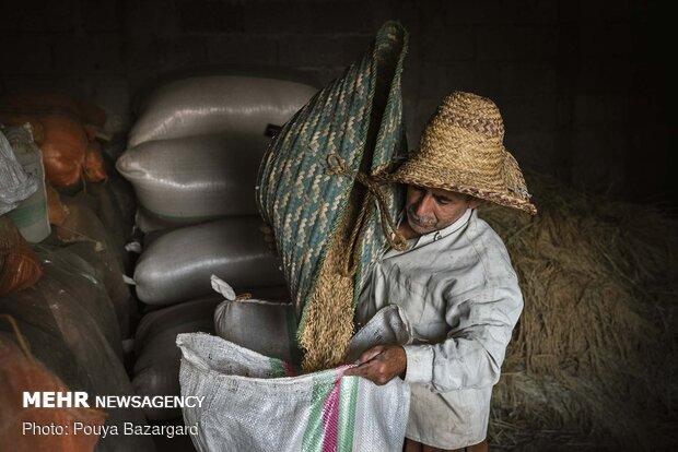 بعد از هر بار پرشدن زنبیل برنج را داخل کیسه می ریزند