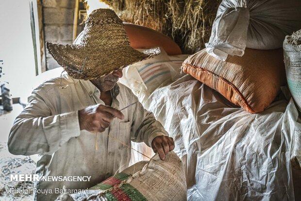 بعد از پر شدن کیسه را با جوالدوز می دوزند تا برای بردن به کارخانه برنجکوبی آماده شود