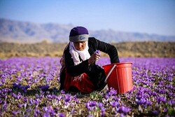 'Iran resumes saffron exports to some destinations'