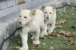 Rare white lion cubs enter Iran