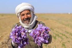 """İran'da """"Kızıl altın"""" safran hasadı"""