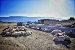 ۱۱۹ هزار رأس دام عشایر استان سمنان بیمه شدند
