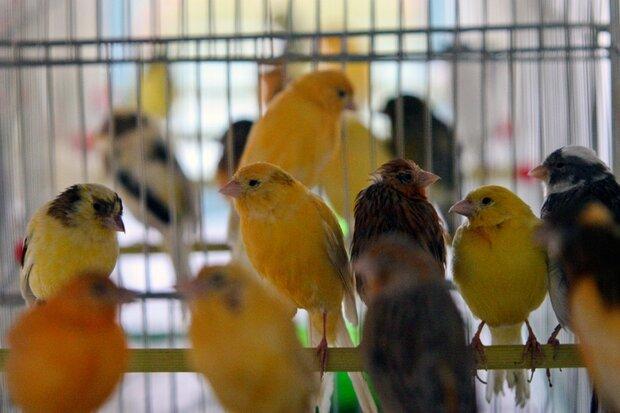 دستگیری سارقان پرندههای زینتی در قم