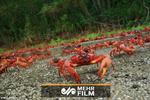 مهاجرت خرچنگهای قرمز به دریا در استرالیا
