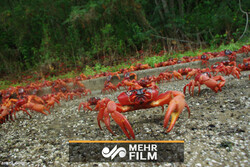VIDEO: Christmas Island's mass red crab migration