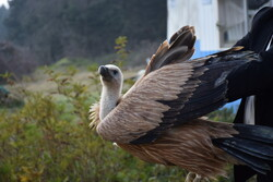 Wild vulture released into Lavandevil Wildlife Refuge