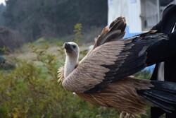 Wild vulture released into Lavandevil Wildlife Refuge