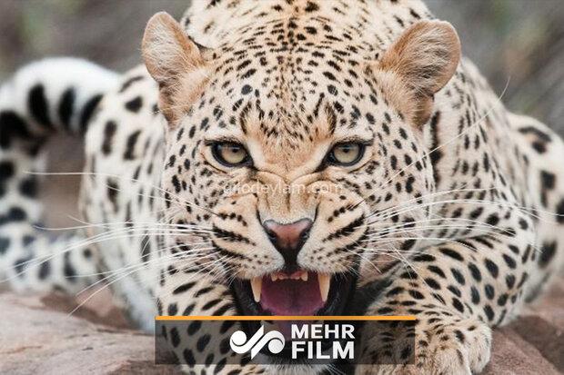 خراسان رضوی کے ایک معدن میں چیتا پہنچ گیا