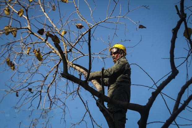 هرس درختان در مسیر کابلهای برق در منطقه ۱۳